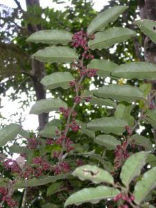 image of amborella plant