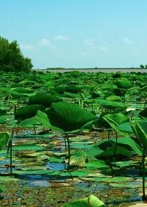 freshwater_marsh