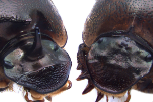 Cyclops beetles